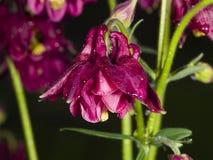 Σκούρο κόκκινο λουλούδι με τις σταγόνες βροχής του ευρωπαϊκού ή κοινού columbine, Aquilegia vulgaris, κινηματογράφηση σε πρώτο πλ Στοκ Εικόνες