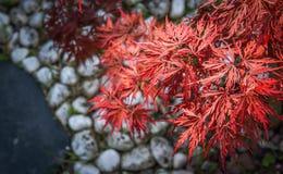 Σκούρο κόκκινο χρώμα φύλλων σφενδάμου αποκαλούμενο τα momijis άσπρο χαλίκι Στοκ φωτογραφία με δικαίωμα ελεύθερης χρήσης