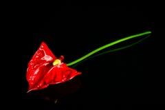 Σκούρο κόκκινο anthurium λουλούδι που απομονώνεται Στοκ φωτογραφία με δικαίωμα ελεύθερης χρήσης