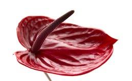 Σκούρο κόκκινο anthurium Στοκ Εικόνες