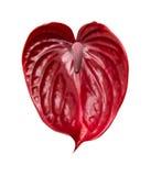 Σκούρο κόκκινο anthurium Στοκ φωτογραφία με δικαίωμα ελεύθερης χρήσης