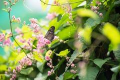 Σκούρο μπλε πεταλούδα τιγρών στα ρόδινα λουλούδια αμπέλων κοραλλιών Στοκ φωτογραφίες με δικαίωμα ελεύθερης χρήσης