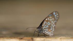 Σκούρο μπλε πεταλούδα τιγρών (septentrionis Tirumala) στο ξύλο φιλμ μικρού μήκους