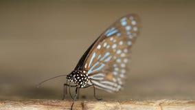Σκούρο μπλε septentrionis Tirumala πεταλούδων τιγρών στο ξύλο απόθεμα βίντεο