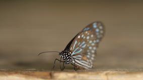 Σκούρο μπλε septentrionis Tirumala πεταλούδων τιγρών απόθεμα βίντεο
