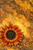 Σκούρο παρτοκαλί λουλούδι ηλίανθων Στοκ εικόνες με δικαίωμα ελεύθερης χρήσης