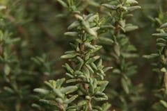 Σκούρο πράσινο κλαδίσκοι †θυμαριού «φρέσκοι για την κουζίνα στοκ φωτογραφία με δικαίωμα ελεύθερης χρήσης