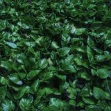 Σκούρο πράσινο pothos στο έδαφος Στοκ εικόνες με δικαίωμα ελεύθερης χρήσης
