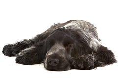 σκυλάκι νυσταλέο Στοκ φωτογραφία με δικαίωμα ελεύθερης χρήσης