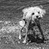 σκυλάκι soggy Στοκ Εικόνες