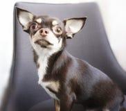 σκυλί ένα chihuahua ζωικό πορτρέτο κινηματογραφήσεων σε πρώτο πλάνο στο εσωτερικό Στοκ φωτογραφίες με δικαίωμα ελεύθερης χρήσης