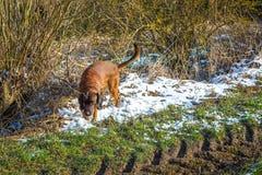 Σκυλί αναζήτησης σε μια διαδρομή υπαίθρια Στοκ εικόνα με δικαίωμα ελεύθερης χρήσης