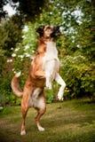 Σκυλί αναμιγνύω-διασταύρωσης που στέκεται στα οπίσθια πόδια Στοκ φωτογραφία με δικαίωμα ελεύθερης χρήσης