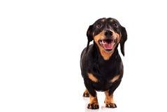σκυλί αστείο Στοκ Φωτογραφίες