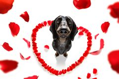 Σκυλί βαλεντίνων ερωτευμένο στοκ εικόνα με δικαίωμα ελεύθερης χρήσης