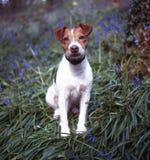 σκυλί βαριδιών Στοκ Εικόνες