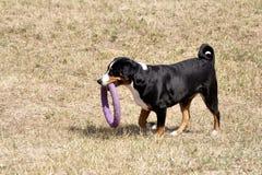 Σκυλί βοοειδών παιχνιδιού Appenzell σε ένα φωτεινό δαχτυλίδι Στοκ Εικόνες