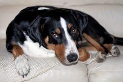 Σκυλί βοοειδών Appenzell που βρίσκεται στον καναπέ και που εξετάζει το camer Στοκ Εικόνα