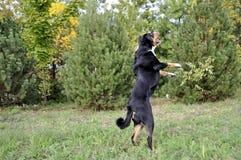 Σκυλί βοοειδών Appenzell που τρέχει στην πράσινη χλόη Στοκ Εικόνες
