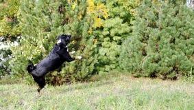 Σκυλί βοοειδών Appenzell που τρέχει στην πράσινη χλόη Στοκ Φωτογραφίες
