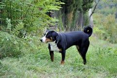 Σκυλί βοοειδών Appenzell που τρέχει στην πράσινη χλόη Στοκ εικόνες με δικαίωμα ελεύθερης χρήσης