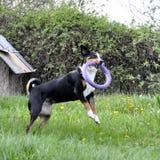 Σκυλί βοοειδών Appenzell που τρέχει στην πράσινη χλόη Στοκ φωτογραφίες με δικαίωμα ελεύθερης χρήσης
