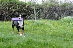 Σκυλί βοοειδών Appenzell που τρέχει στην πράσινη χλόη Στοκ εικόνα με δικαίωμα ελεύθερης χρήσης