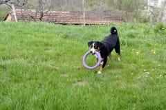 Σκυλί βοοειδών Appenzell που τρέχει στην πράσινη χλόη Στοκ φωτογραφία με δικαίωμα ελεύθερης χρήσης