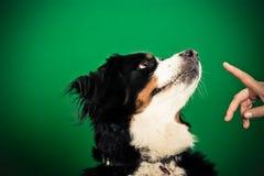 Σκυλί βουνών Bernese που παίρνει την εντολή για να καθίσει Στοκ Εικόνα