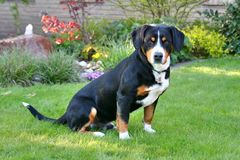 Σκυλί βουνών Entlebucher, entlebucher sennhund Στοκ εικόνες με δικαίωμα ελεύθερης χρήσης