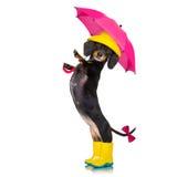 Σκυλί βροχής ομπρελών λουκάνικων dachshund Στοκ φωτογραφίες με δικαίωμα ελεύθερης χρήσης