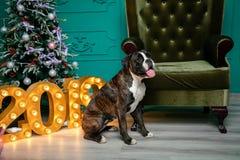 Σκυλί, γερμανικό καφετής-και-λευκό μπόξερ, με το προεξέχον κορίτσι γλωσσών καθμένος μπροστά από το χριστουγεννιάτικο δέντρο, σχήμ στοκ εικόνα