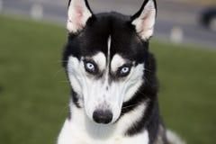 σκυλί γεροδεμένος Σιβηριανός στοκ εικόνα με δικαίωμα ελεύθερης χρήσης