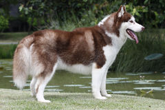 σκυλί γεροδεμένος Σιβη Στοκ Εικόνες