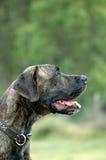 σκυλί Δανών μεγάλο Στοκ φωτογραφία με δικαίωμα ελεύθερης χρήσης
