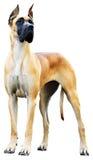 σκυλί Δανών μεγάλο Στοκ φωτογραφίες με δικαίωμα ελεύθερης χρήσης