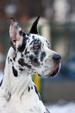σκυλί Δανών μεγάλο Στοκ εικόνες με δικαίωμα ελεύθερης χρήσης