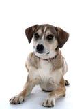 σκυλί διασταύρωσης μικτό Στοκ φωτογραφία με δικαίωμα ελεύθερης χρήσης