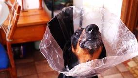 Σκυλί δόντια καρότων στα ιατρικά περιλαίμιων κώνων ροκανίζοντας φιλμ μικρού μήκους