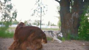 Σκυλί δύο που παίζει υπαίθρια - ιρλανδικός ρυθμιστής και γεροδεμένος, σε αργή κίνηση φιλμ μικρού μήκους