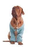 σκυλί ζακετών Στοκ φωτογραφίες με δικαίωμα ελεύθερης χρήσης