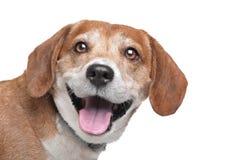 σκυλί διασταύρωσης μικτό Στοκ Εικόνες