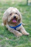 σκυλί κίτρινο Στοκ εικόνες με δικαίωμα ελεύθερης χρήσης