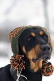 σκυλί καθιερώνον τη μόδα Στοκ εικόνα με δικαίωμα ελεύθερης χρήσης