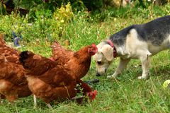 Σκυλί και γάτα κοτόπουλου κατοικίδιων ζώων που τρώνε μαζί ως καλύτερος φίλος στοκ εικόνα