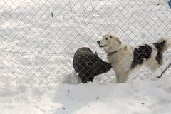 Σκυλί και καλύτεροι φίλοι χοίρων στο αγρόκτημα Στοκ φωτογραφία με δικαίωμα ελεύθερης χρήσης