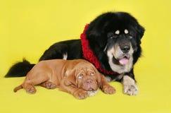 Σκυλί και κουτάβι στην κίτρινη ανασκόπηση. Στοκ φωτογραφία με δικαίωμα ελεύθερης χρήσης