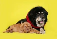 Σκυλί και κουτάβι στην κίτρινη ανασκόπηση. Στοκ φωτογραφίες με δικαίωμα ελεύθερης χρήσης