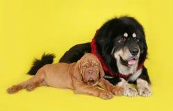 Σκυλί και κουτάβι στην κίτρινη ανασκόπηση. Στοκ Εικόνα