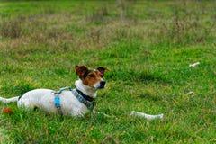 Σκυλί και κόκκαλο Στοκ Εικόνα